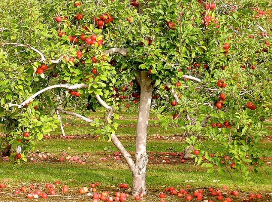 Please Don T Prune The Apple Tree