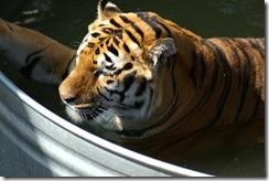 jtpedersen_Colorado_Wild Animal Sanctuary_Tiger (1b)