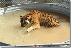 jtpedersen_Colorado_Wild Animal Sanctuary_Tiger (2b)