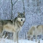 Are wolf hunt protesters barking up wrong tree?