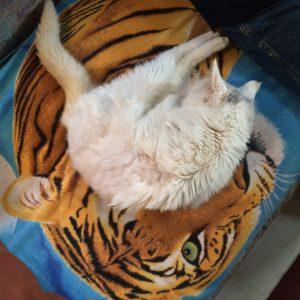 Kiki_Tiger_KissimmeeIMG_2124