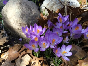 Rock garden springs forth with April flowers.
