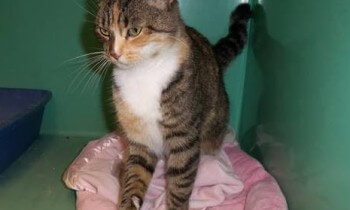 LACASA Cat Tabitha in Safe Pet Place shelter (2)