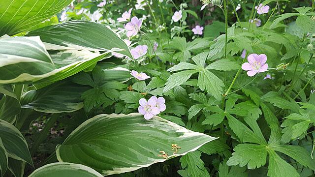 wild flowers hosta