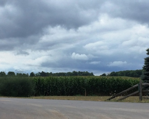 Cornfields august 2016 IMG_9512.jpg c